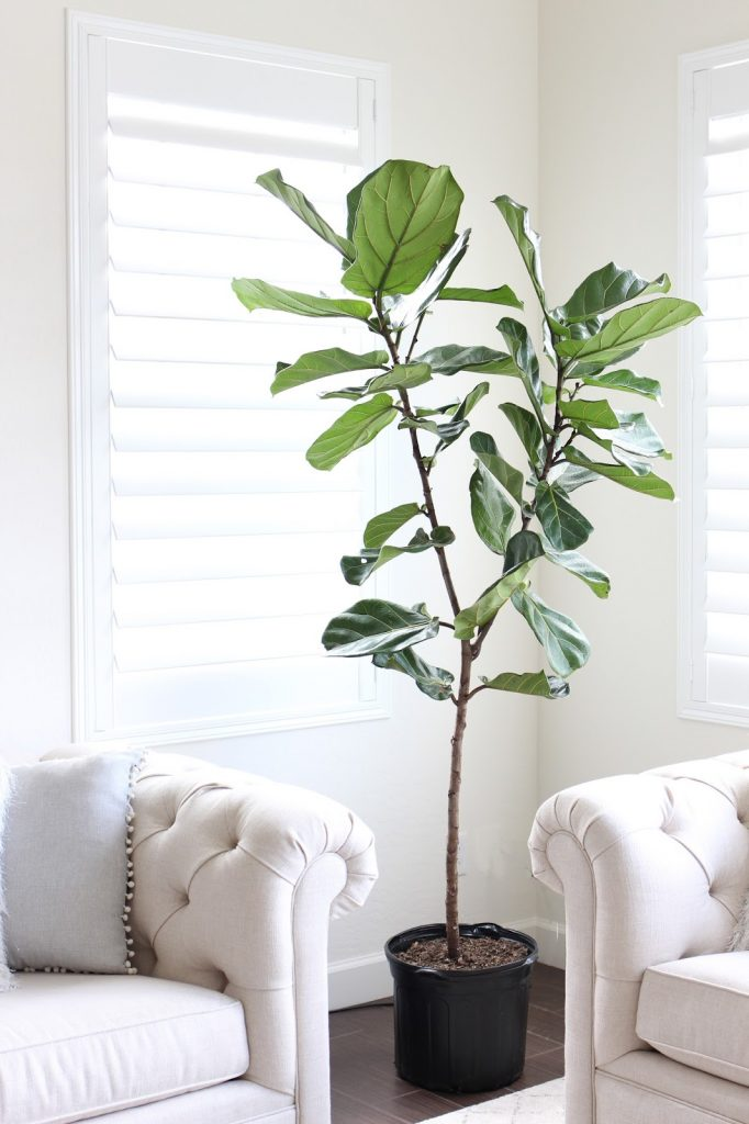 fiddle leaf - wicker basket - simply sutter - style - home decor - casa sutter